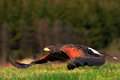 Flying bird of prey, Harris Hawk, Parabuteo unicinctus, landing. Bird in the nature habitat. Action wildlife scene from nature. Bi
