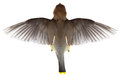 Flying bird top view of flight wings a the fowl is in the are spread out on white Royalty Free Stock Photo