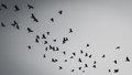 Flying birds silhouette Royalty Free Stock Photo