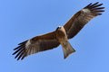 Flying Black Kite. Royalty Free Stock Photography