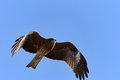 Flying Black Kite. Stock Images