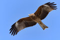 Flying Black Kite. Royalty Free Stock Photo