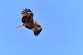 Flying Black Kite. Royalty Free Stock Photos