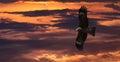 Flying Black kite Milvus migrans Royalty Free Stock Photo