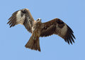 Flying Black Kite at sky background Royalty Free Stock Photo