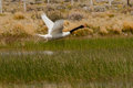 Flying black necked swan adult in flight over small marsh Royalty Free Stock Photos