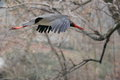 The flying black stork Stock Images
