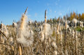 Flying cattail fluff. Royalty Free Stock Images
