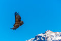 Flying condor over colca canyon peru south america this condor the biggest flying bird is a on earth Royalty Free Stock Photo