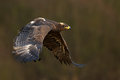 Flying dark brawn bird of prey steppe eagle aquila nipalensis with large wingspan norway Royalty Free Stock Images