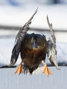 A flying Drake Shoveler Royalty Free Stock Photo