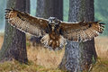 Flying Eurasian Eagle Owl with open wings in forest habitat with trees, wide angle lens photo Royalty Free Stock Photo