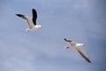 Flying european herring gulls larus argentatus against blue sky helgoland island germany Stock Photo