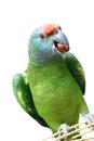 Flying festival amazon parrot on white the background Royalty Free Stock Photos