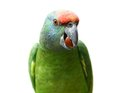 Flying festival amazon parrot on white the background Royalty Free Stock Images