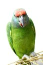 Flying festival amazon parrot on white the background Stock Photos
