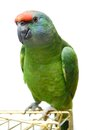 Flying festival amazon parrot on white the background Royalty Free Stock Image