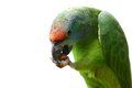 Flying festival amazon parrot on white the background Stock Image