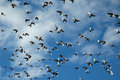 Flying flock of pigeons Royalty Free Stock Images