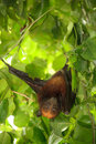 Flying fox bat Royalty Free Stock Photos