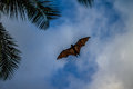 Flying fox on blue sky Royalty Free Stock Photo