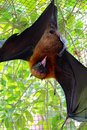 Flying fox emotional recordings from the tropical paradise of seychelles in the indian ocean off africa Stock Image