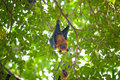 Flying foxes hang on tree branches Royalty Free Stock Photo