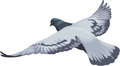 Flying full color pigeon a vector realistic in view from above flies with wings wide open bird has greyish bue light blue and Stock Images