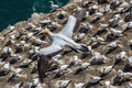 Flying gannet above colony Stock Photos