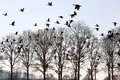 Flying geese over wintry bald trees, Holland Royalty Free Stock Photo