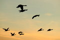 Flying gooses Royalty Free Stock Photography