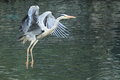 Flying grey heron Stock Photos