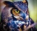 Grey Horned Owl Royalty Free Stock Photo