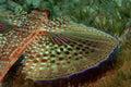 Flying Gurnard Fish
