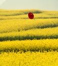 Flying hat over rape flowers field Stock Photo