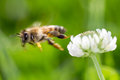 Flying honey bee Royalty Free Stock Photo