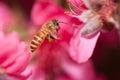 Flying honeybee Royalty Free Stock Photography