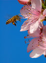 Flying honeybee Royalty Free Stock Photo