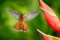 Flying hummingbird with flower. Beautiful red flower with bird in fly. Hummingbird Rufous-breasted Hermit, Glaucis hirsutus, fligh Royalty Free Stock Photo
