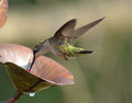 Flying hummingbirds aerial acrobats done with speed and precision in flight this one at a feeder with wings turned back beak in Royalty Free Stock Images