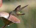 Flying Hummingbirds Royalty Free Stock Photo