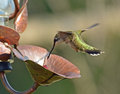 Flying Hummingbirds Royalty Free Stock Photo