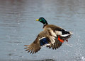 Flying mallard duck a taking off in flight from the water Stock Photos