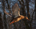 Flying mallard or wild duck anas platyrhynchos female Stock Photos
