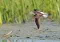 Flying Marsh Sandpiper near nest Royalty Free Stock Photo