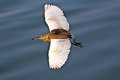 Flying paddybird indian pond heron or ardeola grayii in porbandar bird sanctuary Stock Images