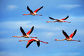 Flying pair of nice pink big bird Greater Flamingo, Phoenicopterus ruber, with clear blue sky with clouds, Camargue, France Royalty Free Stock Photo