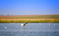 Flying pelican danube delta landscape with and clear blue sky Royalty Free Stock Photos