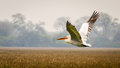 The flying pelican white over grassland Royalty Free Stock Photos