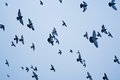 Flying pigeons against blue sky a flock of are up in the air Stock Image